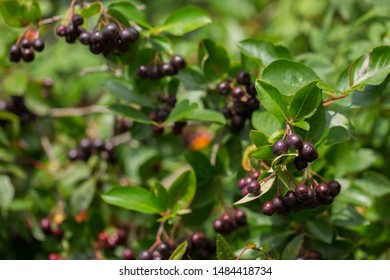 Aronia berries (Aronia melanocarpa, Black Chokeberry) growing in the garden. Branch filled with aronia berries on a sunny day. Selective focus