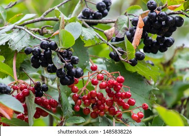Aronia berries or Aronia melanocarpa on a bush. Shrub with bunches of ripe aronia in the garden. Autumn harvest.