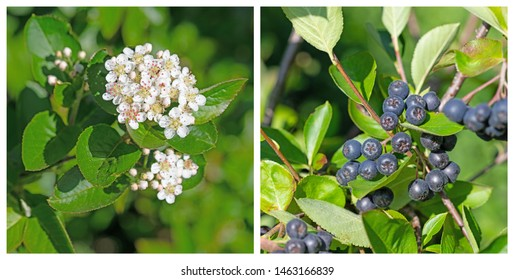 Aronia berries,Aronia melanocarpa, Blossoms and fruits in a collage