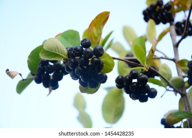 Aronia berries.Branch filled with aronia berries (Aronia melanocarpa, Black Chokeberry)