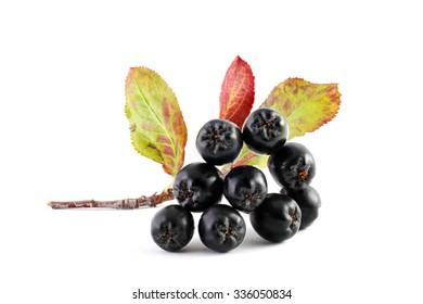 Aronia. Chokeberry.