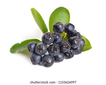 Aronia melanocarpa, called the black chokeberry. Isolated on white background.