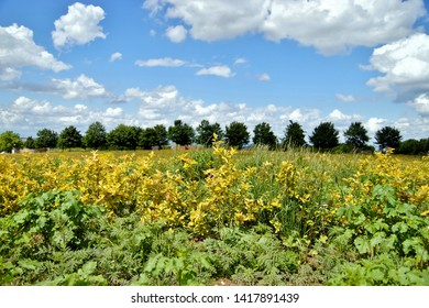 aronia plantation in golden colour and a line up of trees with blue sky backgrounds with clouds.Aronia chokeberries shrubs growing in a field. Antioxidant rich Superfruit. Agricultural Marketing pic.