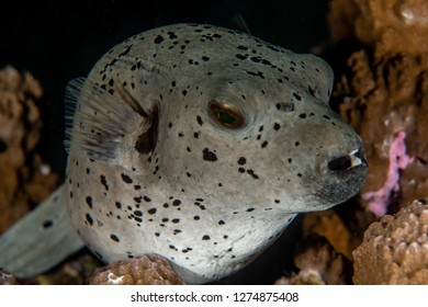 Arothron Dog Face Puffer, Arothron nigropunctatus