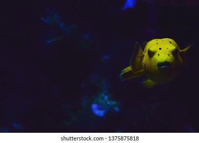 Arothron Golden Puffer is a fish of many names including Spotted Puffer, Guinea Fowl Puffer because it changes appearance during different stages of its life.