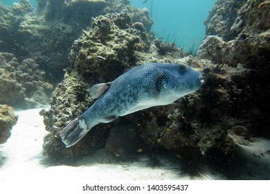 Arothron stellatus. Blowfish swims underwater next to coral. Blowfish close-up on a coral background. Blue Blowfish.