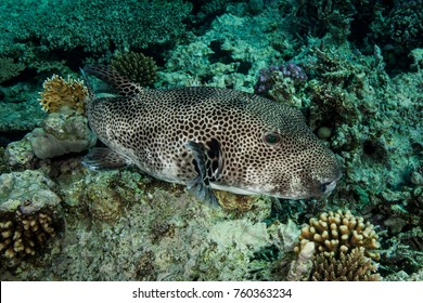 Arothron stellatus, also known as the stellate puffer, starry puffer, or starry toadfish