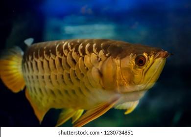 Arowana in the aquarium