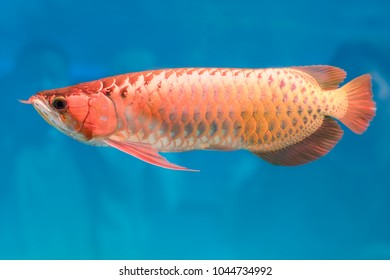 Arowana in aquarium, this is a favorite fish with long body, beautiful dragon shape colorful for decoration in the aquarium in the rich family