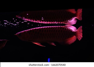 Arowana fih reflection In Aquarium