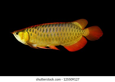 35.018 hình ảnh về cá rồng quý hiếm, độc lạ đắt đỏ mời bạn cùng chiêm ngưỡng