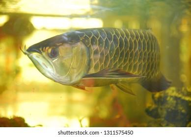 arowana fish in the aquarium