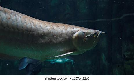 Arowana fish in the aquarium. Close up photo of tropical fish.