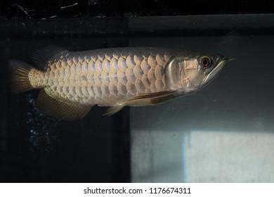 Arowana fish or dragon fish on a black background.