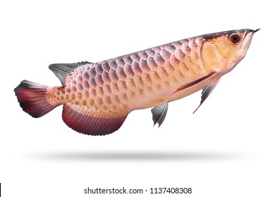 Arowana fish isolated on white background. Asia species. ( Clipping path )