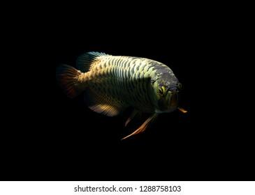Arowana fish on black background
