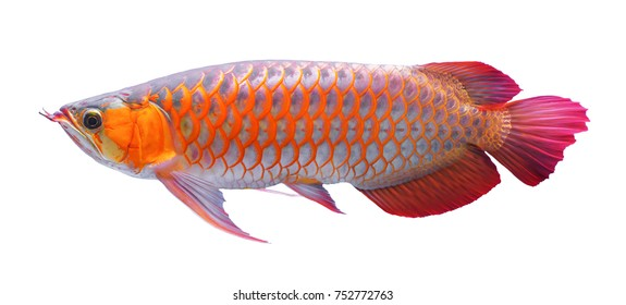 Arowana fish on white background.