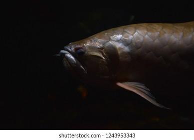 Arowana fish / fish silver arowana swimming in tank underwater aquarium - scleropages aureus white arowana fish