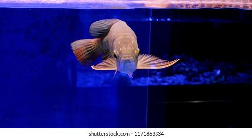 arowana fish swimming