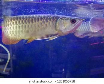 Arowana Fish In Tank