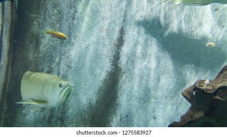 Arowana fish in a tank