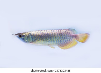 Arowana fishview in close up isolated background