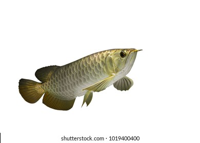 Arowana isolated on white background.