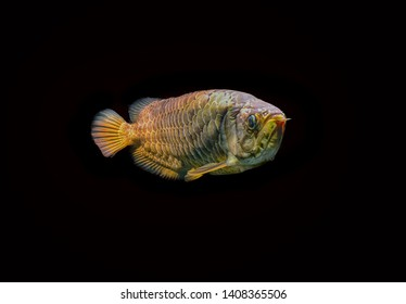 arowana malaysia gold 24 K in aqarium fish