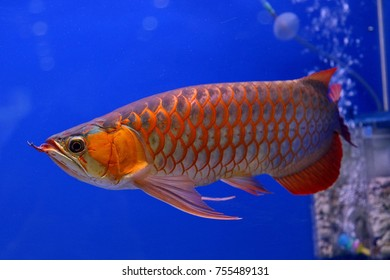 Arowana is sometimes called as dragon fish because it has scales that is colorful. The Asian arowana (Scleropages formosus) is the world's most expensive aquarium fish.