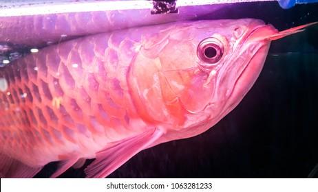 Arowana in  tanks  aquarium fish in thailand,Super red Asian Arowana