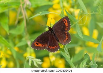 Arran brown butterfly in a field of yellow flowers.