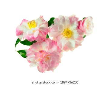 An Arrangement of Four Pink and White Focus Stacked Camellia Blossoms Isolated on White