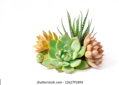 Arrangement of red ,green,pink  Echeveria and Zebra plant succulent flowering houseplants white background