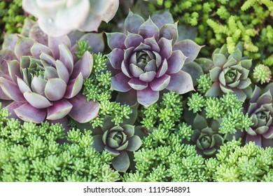 arrangement of succulents or cactus succulents