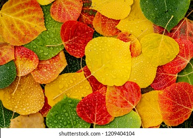 Array of colorful Aspen tree leaves laying on the ground covered with water drops