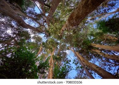 Arrayan trees woods on Quetrihue Peninsula path, Los Arrayanes National Park, Villa La Angostura, Patagonia, Argentina