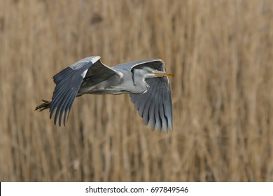Arriving Grey Heron, Adrea cinerea, With a shining yellow eye, a long orange beak and massive wings in neutral background of beige reeds.