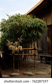 """Arrow bamboo - Pseudosasa japonica. It is called """"Yadake"""" in Japan."""