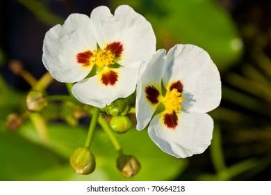 Arrow Head Flower (Aquatic Plant)