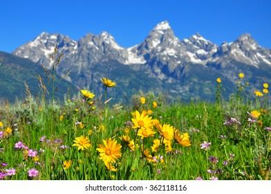 Arrowleaf Balsamroot Flowers , Grand Teton National Park, Wyoming, USA