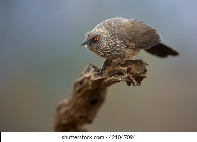 Arrow-marked babbler, Turdoides jardineii, isolated male with distinctly orange eye, perched on top of old branch, staring directly at camera against abstract colorful background. South Africa.