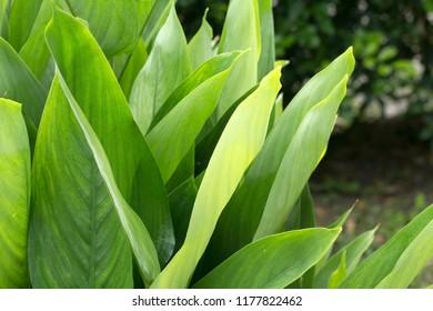 Arrowroot's fresh leaves closeup(Maranta arundinacea)