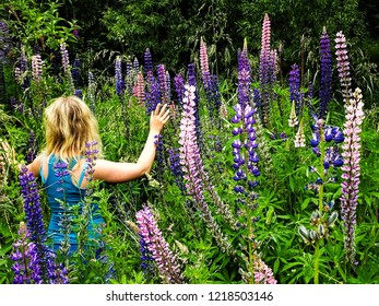 Arrowtown / New Zealand - 12 21 2016: young blonde girl lightly touching blooming lupine flowers (Lupinus perennis)