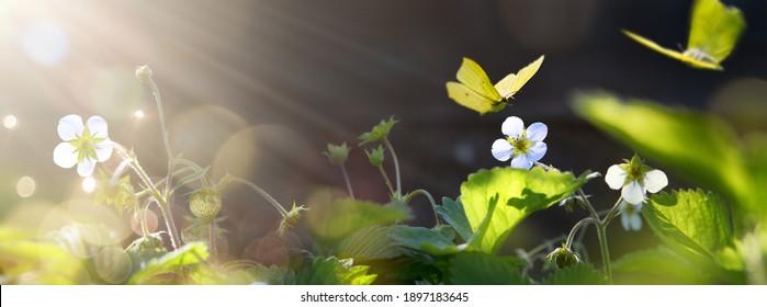 Kunst Schöne blühende Frühlingsblumen; Erdbeerblume im Garten auf sonnigem Hintergrund.