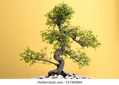art form using trees - green lush Bonsai Ulmus parvifolia - grow new leaves in spring  Second picture of four