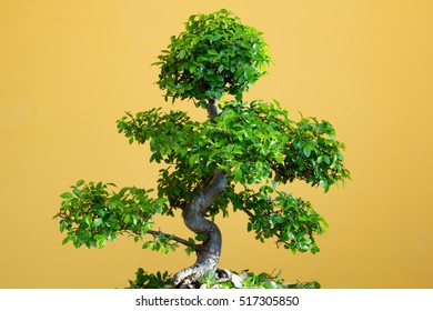 art form using trees - green lush Bonsai Ulmus parvifolia - trimmed in spring  Fourth picture of four