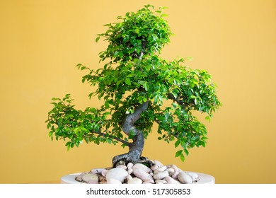 art form using trees - green lush Bonsai Ulmus parvifolia - untrimmed in spring  Third picture of four