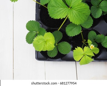 Art green strawberry leaf , Strawberry tree leaves , Wild strawberry leaves background