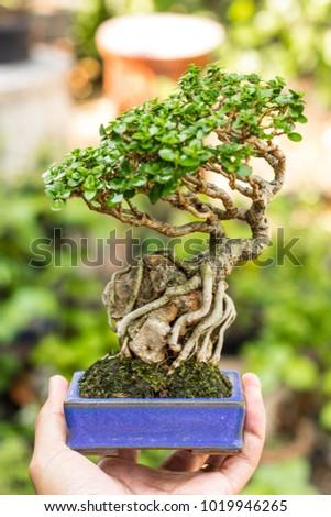 Art Mini Bonsai Tree Green Leaf Stock Photo Edit Now 1019946265