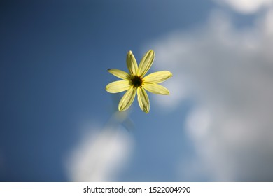 Art and nature. Beautiful flower with yellow petals on a thin stalk blurred focus. What do the flowers see when they grow. Blue sky and white clouds without focus. Natural background
